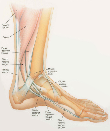 Ankle and Foot Medical Illustration