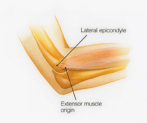 anatomy of the elbow